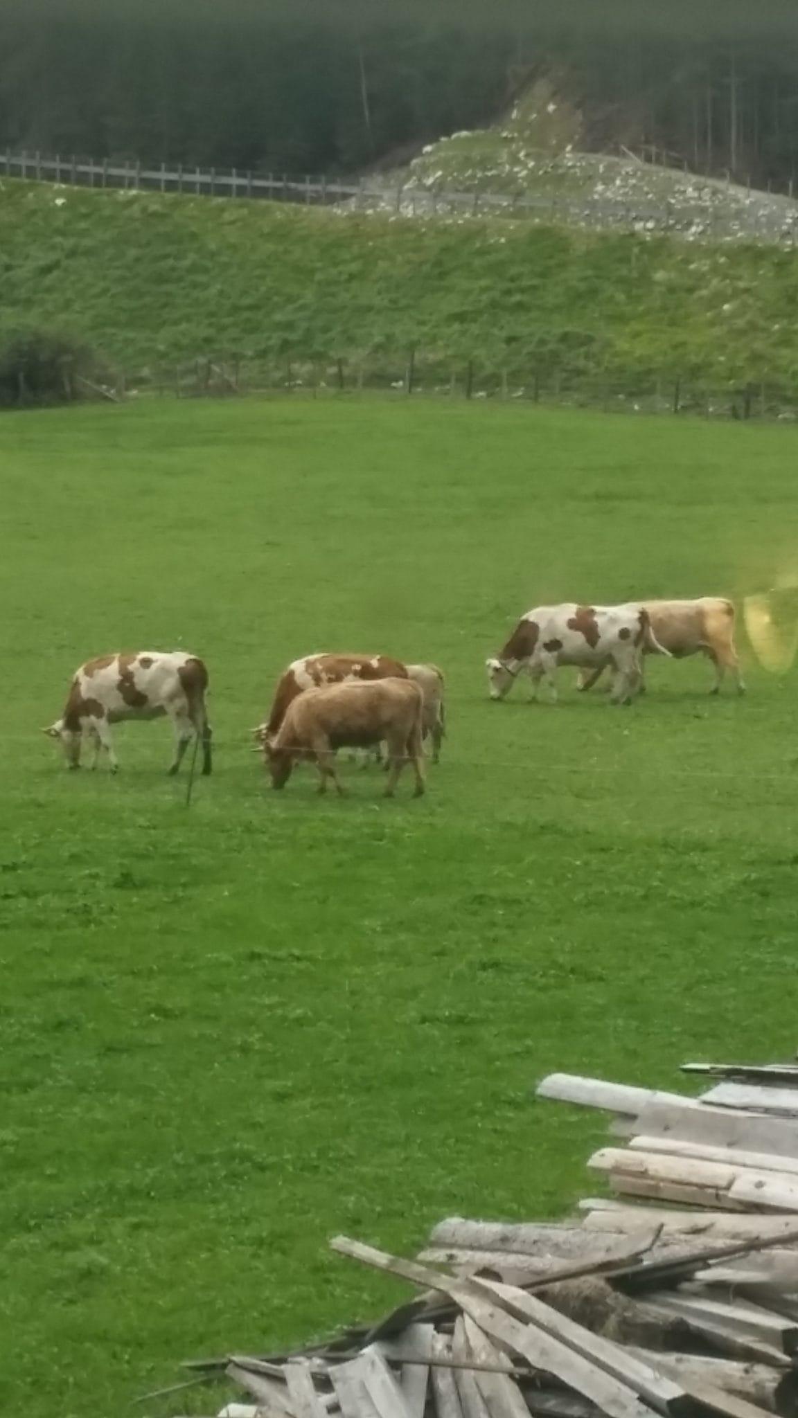 פרות בחווה חקלאית בפלכאו